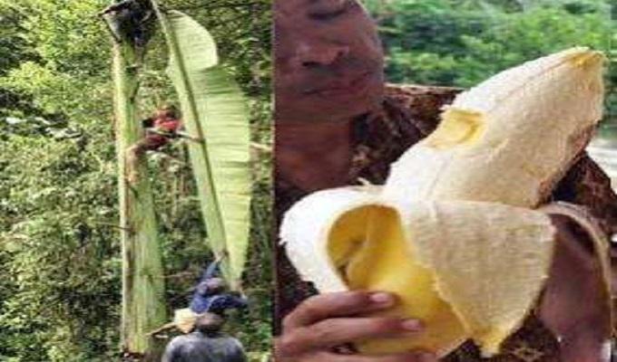 Pisang raksasa ditemukan di Papua. Foto: Facebook
