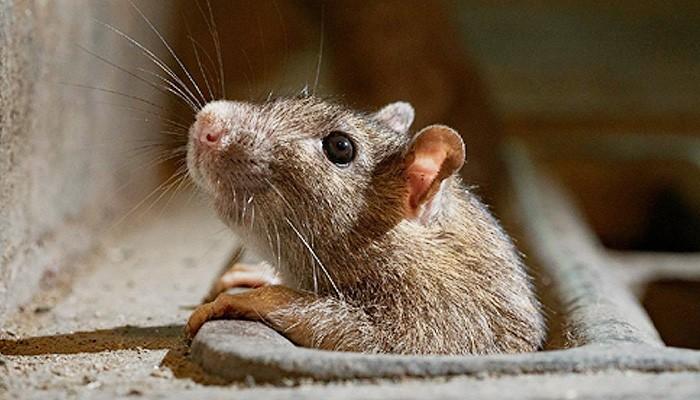 Rahasia kumis hewan mendeteksi perubahan udara dan arah angin.