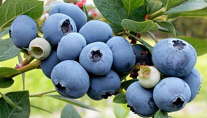 Blueberry mampu lindungi otak dari demensia dan alzheimer.