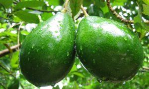 buah alpukat untuk kesehatan/Foto Emer