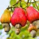 agribisnis tanaman jambu mete/Foto: RuangTani.Com