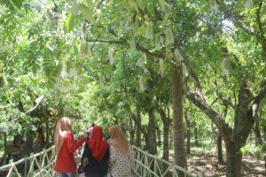 Agrowisata Kebun Belimbing Ngringinrejo, Kalitidu, Bojonegoro, Jawa Timur Foto Dok All About Bojonegoro