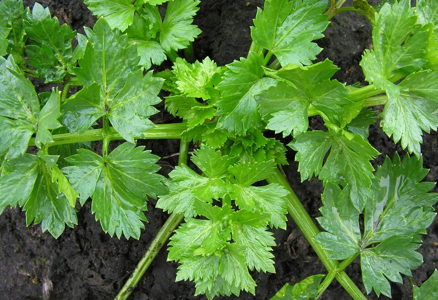 Daun Seledri (celery)/Foto: Emer