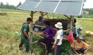 Babinsa Ramil 0824/06 Ledokombo Dampingi Pok Tani Panen Padi/Foto Sis24/Nusantaranews