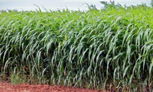 Bahan Baku Energi Terbarukan, Rumput Gajah/Foto: bioenergycrops.com