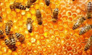Madu Lebah Untuk Kecerdasan Otak/Foto Emer
