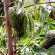 Manfaat buah dan daun sirsak obati infeksi kandung kemih.