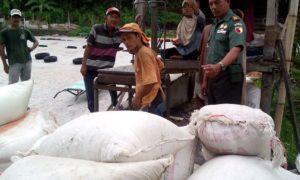 Danramil Ledokombo, Sumaryono bersama Kelompok Tani Maju Makmur, Jember melakukan penimbangan gabah hasil panen. (Foto: Nusantaranews.co/Sis24)