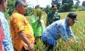 Babinsa Kelurahan Kranjingan Kecamatan Sumbersari blusukan ke sawah milik Pok Tani Sidomakmur, Kamis 17 November 2016/Foto Sis24