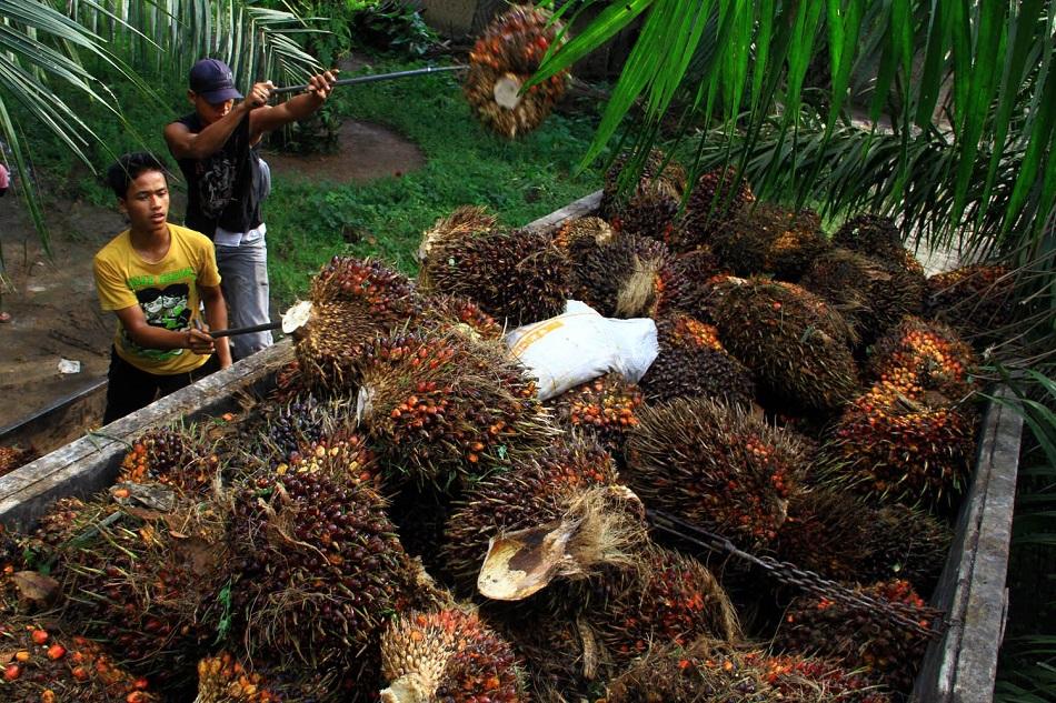 Para Pekerja Sedang Menaikkan Sawit ke Bak Truk. Foto Iluistrasi/Kabar Jambi