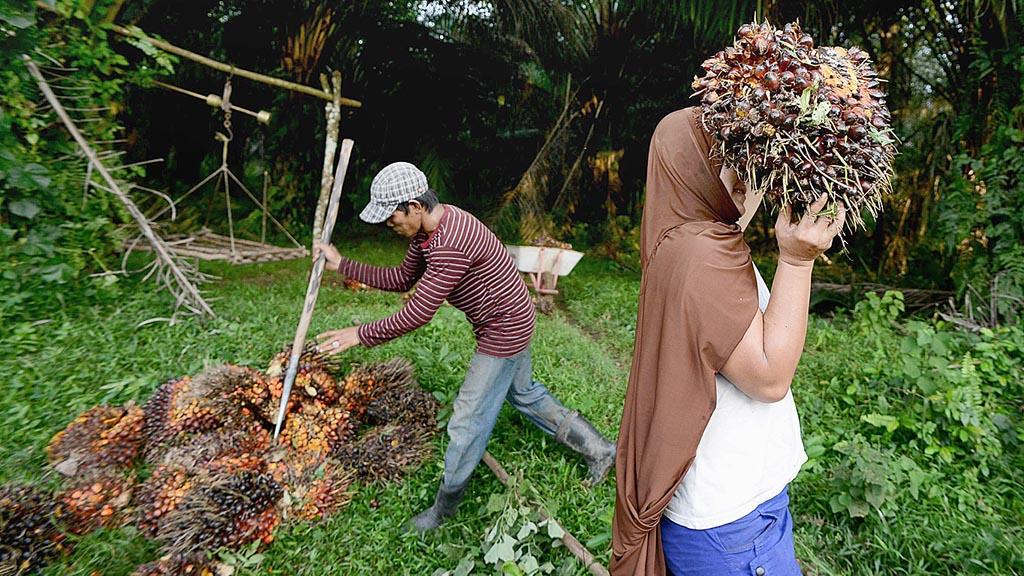 Para Petani Sawit Tampak Sedang Mengangkut Hasil Panen Sawit. Foto Ilustrasi/Kompas
