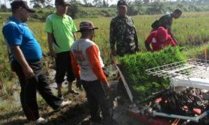 Percepatan Tanam di Lakukan oleh kelompok tani di Jember. Foto Sis/Nusantaranews