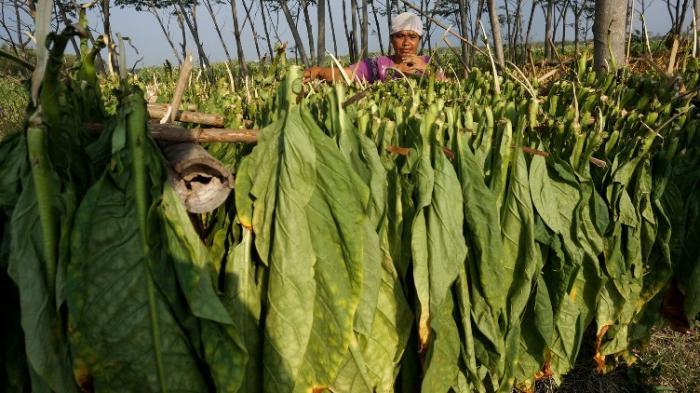 Petani tembakau di Jawa Timur tampak sedang menjemur daun tembakau. Foto IST