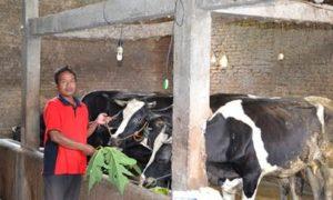 Peternak sapi perah rakyat di Boyolali tengah memberi makan sapi-sapinya. Foto Dok. Pribadi