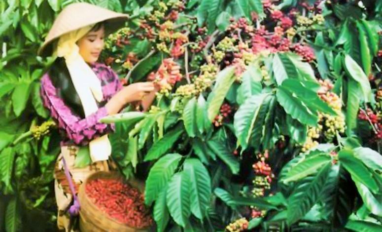 Petani memetik nuah kopi saat panen di Lampung/Foto: Dok. Detik Lampung