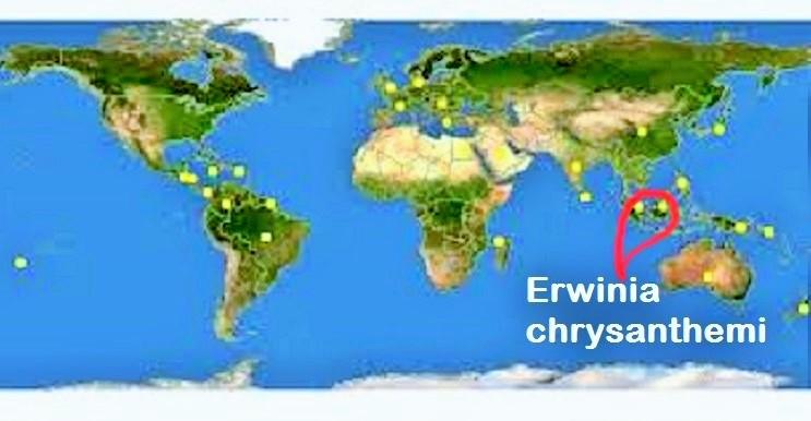 Erwinia chrysanthemi di Dunia termasuk di dalamnya Indonesia/Ilustrasi Nusantaranews/Latar via Discover Life