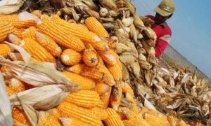 Katahanan pangan nasional/Foto Ilustrasi/Tempo