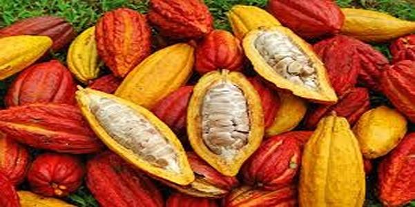 Kulit Buah Kakao/Ilustrasi/Nusantaranews