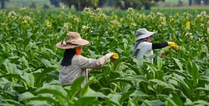 Kebun dan petani tembakau. (Foto: Dok.AMPTI)
