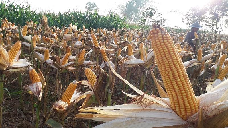 Beberapa wilayah di Kabupaten Ponorogo, Jatim saat ini mulai melakukan panen raya jagung. (Foto: Muh Nurcholis/NusantaraNews)
