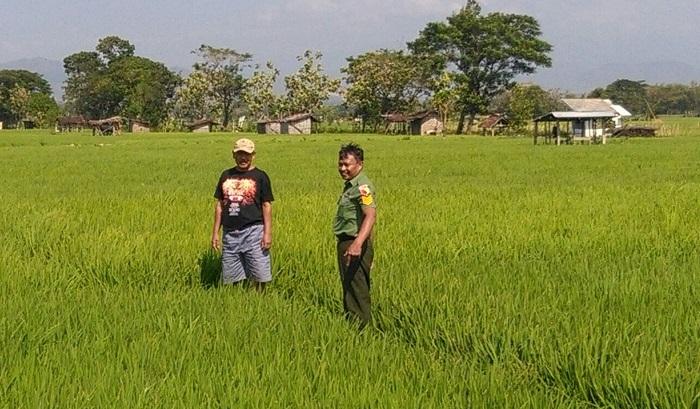 Serma Mariyadi Jalani Agenda Rutin Babinsa di Sawah-Ladang. Kali ini ia melaksanakan pendampingan pertanian di kelompok tani Ronggoniti Ponorogo. Foto pendim02/ NusantaraNews