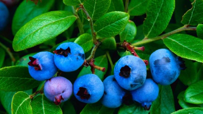 Blueberry kaya akan anti-inflamasi flavonoid. (Foto: ALAMY)