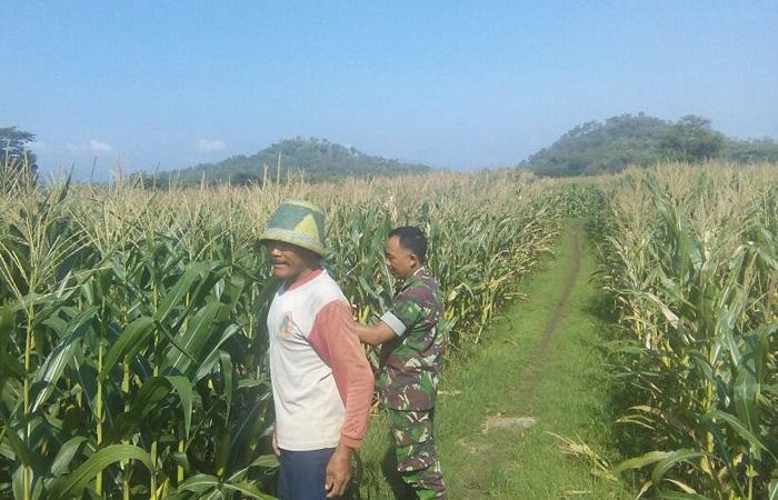 Perawatan Jagung Petani Ponorogo (Foto Istimewa/Nusantaranews)
