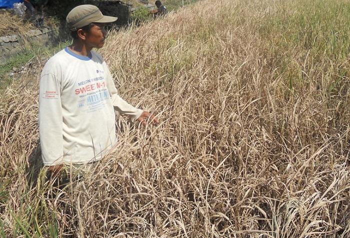 Seorang petani tunjukkan tanaman padinya yang diserang wereng (Foto Ilustrasi/solopos)