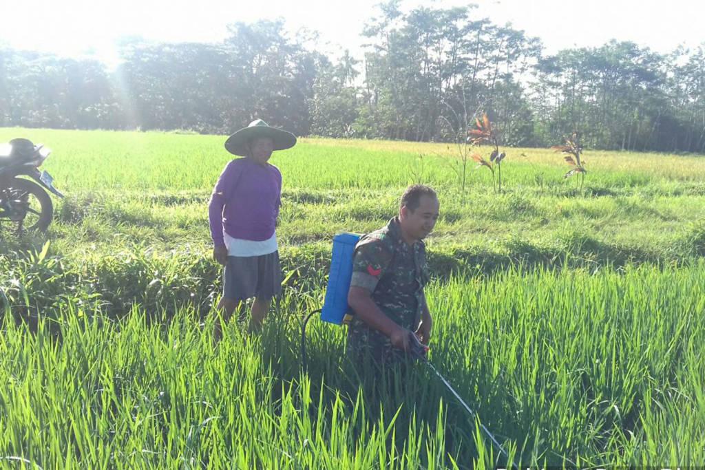 Babinsa Desa Plandaan Koramil 0807/03 Kedungwaru membantu petani merawat tanaman padi. Foto: Dok. Koramil 0807/03 Kedungwaru
