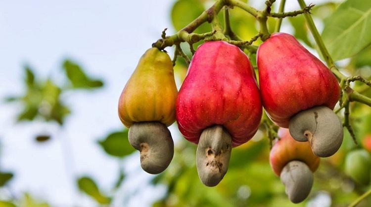 Jambu Monyet atau Jambu Mete (Foto Istimewa)