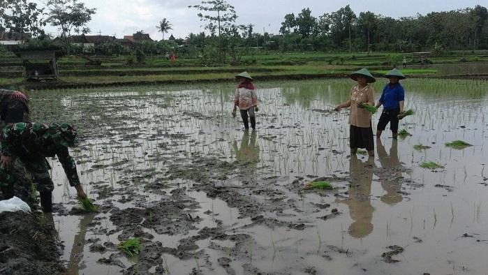 Babinsa Koramil 0807/19 Pucanglaban, Sertu Suwito turun ke sawah bantu petani tanam padi. Foto: Dok. MD0807/ NusantaraNews