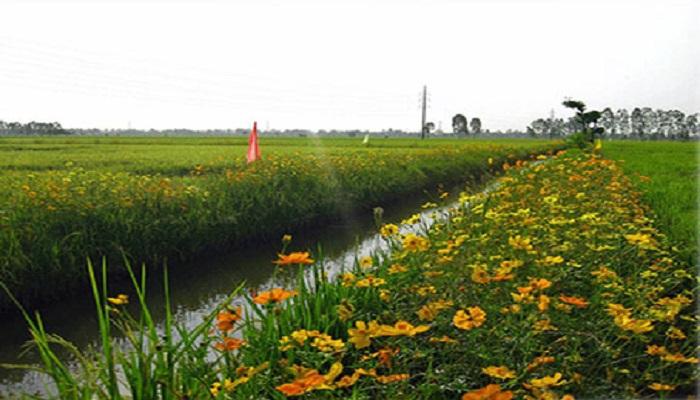 Tanaman atau bunga refugia untuk menangkal hama padi. Foto: Umy.ac.id