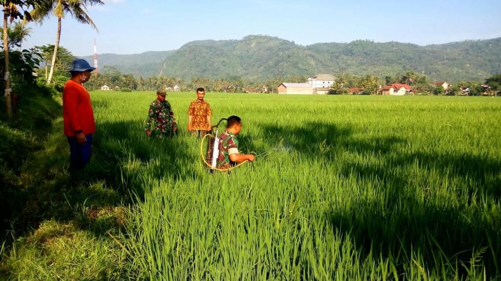 Babinsa Bantengan Koramil 0807/11 membantu penyemprotan padi di lahan pertanian padi milik pok tani Handoko Karyo, Desa Bantengan Kec. Bandung dengan luas 37,2 Ha pada Kamis (7/12/17). Foto: Penrem