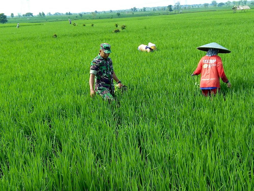 Bintara Pembina Desa (Babinsa) Koramil 0812/07 Bluluk Kodim 0812 Lamongan Serma Hadi membantu petani membersihkan gulma. Foto: Dok. Kodim 0812 Lamongan