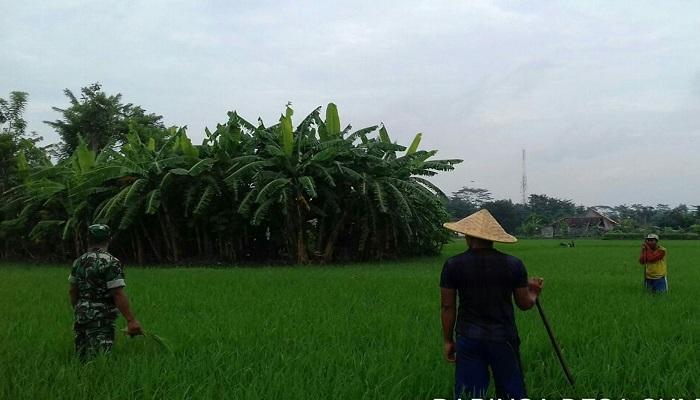 Babinsa Ngunut Serda Sunanto di persawahan milik petani Karso, warga desa Sumberjokulon, Kecamatan Ngunut, Selasa (16/1/2018). Foto: Istimewa