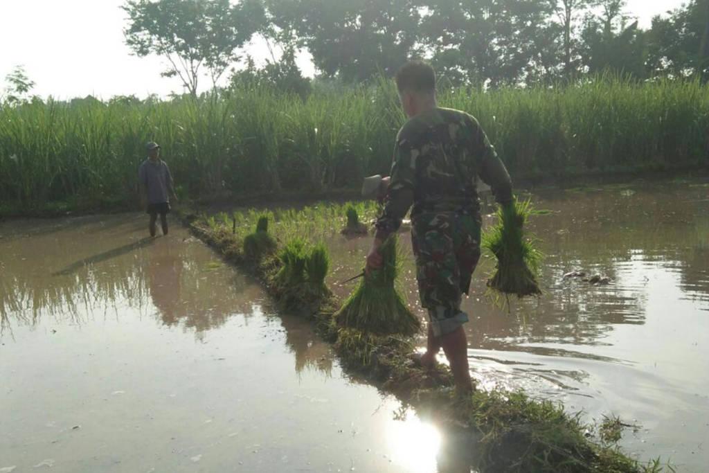Babinsa Komando Rayon Militer 0807/19 Pucanglaban Serka Jarkasi, yang merupakan jajaran Kodim 0807 Tulungagung membantu kelompok tani Pujiluhur menanam padi di area sawah Sukardi (62) di Kasrepan, Demuk. Foto: Istimewa