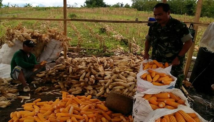 Babinsa Desa Ngepoh Serda Joko Riyono melaksanakan upaya khusus, pendampingan panen jagung jenis P 27,seluas 1 Ha. Kamis (25/01/2018). Foto: Dok. Istimewa/NusantaraNews