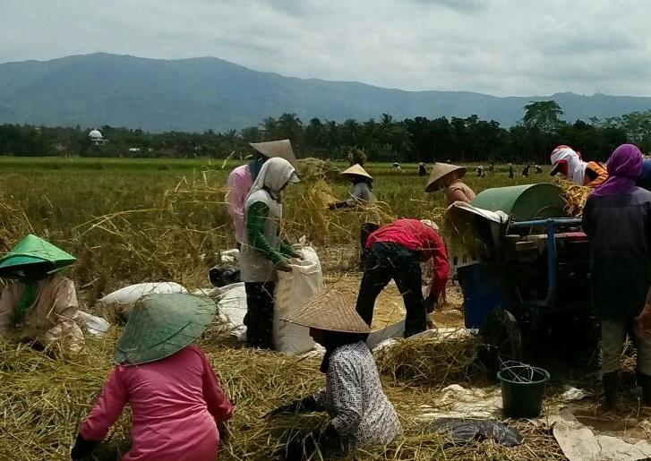Panen Padi Seluas 5 Hektar di Mumbulsari, Jember (Foto Istimewa/Nusantaranews)