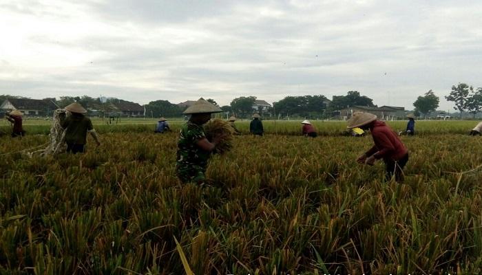 Bintara Pembina Desa (Babinsa) Kedungsoko Serka Nurharyanto memanen padi kelompok tani Madi Multo dengan jenis padi Pak Tiwi. Foto: Dok. NusantaraNews