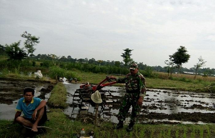 Pembina Desa (Babinsa) Koramil 0808/ 08 Udamawu Kodim 0808/Blitar Serda Suwandi melaksanakan serbuan ter memantau perkembangan tanaman padi. Foto: Amrin/File Kodim Blitar