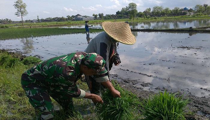 Babinsa Desa Gebang, Sertu Widarmanto, melaksanakan pendampingan kepada kelompok tani Gesang Barokah dalam menanam padi di areal milik Trimo, warga Dusun Dungkul Desa Gebang Kecamatan Pakel. Foto: Istimewa