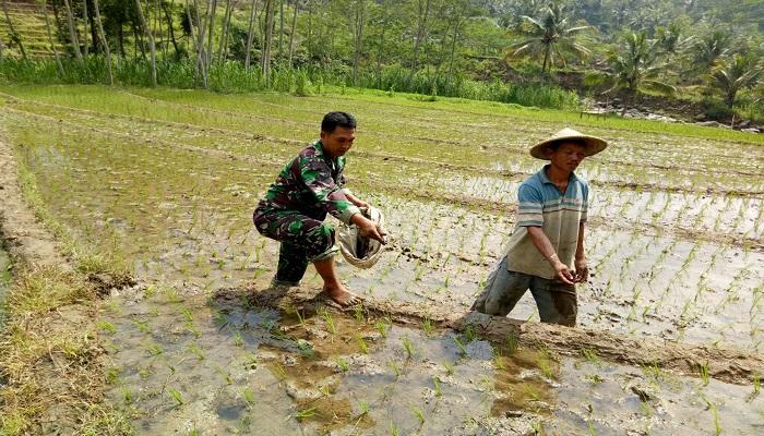 Bintara Pembina Desa (Babinsa) dari Koramil 0807/15 Pagerwojo, Serma Wisnu Sunaryo Putro, membantu menanam padi kelompok tani Dsn. Boro Ds. Wonorejo Kec. Pagerwojo. Jum'at(26/01/2018).