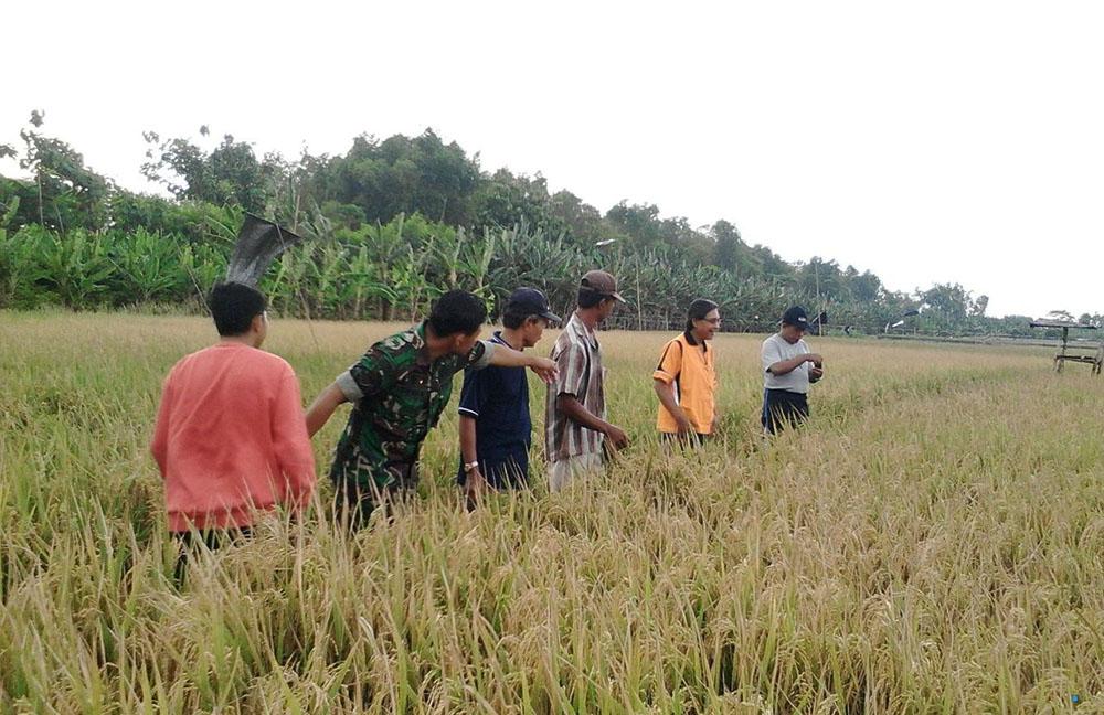 Pengecekan padi di Laren, Lamongan jelang panen raya akhir Januari 2018 (Foto Istimewa/Nusantaranews)