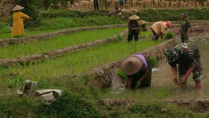 Babinsa Semar Koramil 0807/15 Pagerwojo, Sertu Priyo mendampingi Kelompok tani Dusun Krajan Desa Samar melakukan kegiatan tanam padi. Foto Md 0807/ NusantaraNews