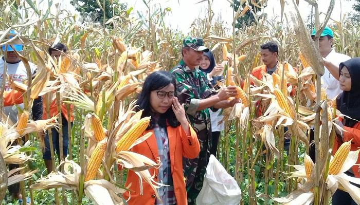 Babinsa Koramil 0812-09 Mantup bersama PPL dampingi petani dan Mahasiswa membantu petani jagung di Dsn. Glugur Ds. Mantup Kec. Mantup dalam mengukur perkiraan (pengubinan) hasil panen, Kamis (25/01/18). Foto: enrem 082/CPYJ/ NusantaraNews