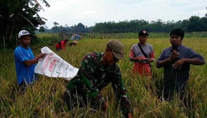 Kelompok tani (Pok Tani) Makmur Desa Cakru Kecamatan Kencong Kabupaten Jember, Jawa Timur melakukan panen padi jenis varieties Situbagendit di lahan seluas 5 hektare, Rabu (7/3).