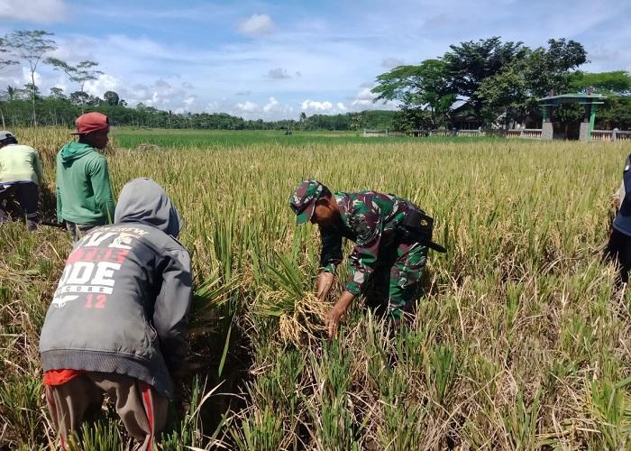 Panen padi di lahan seluas 3 hektare di Kecamatan Ledokombo, Kabupaten Jember, Jawa Timur. (Foto: Istimewa/Sis24)