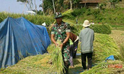Kegiatan Panen Padi Bersama TNI di Ponorogo