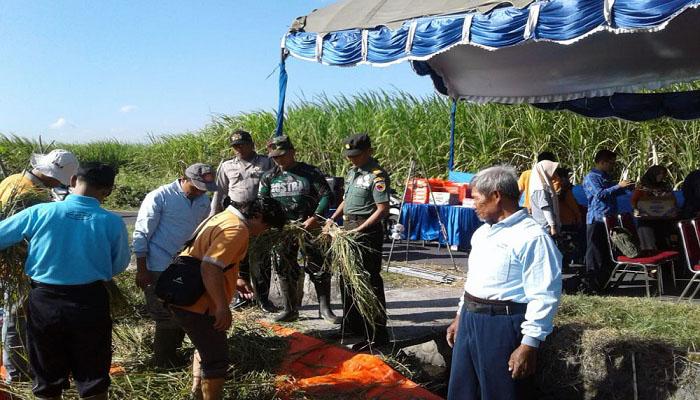tanam padi, budidaya padi, bertanam padi, kelompok tani, tani kediri, field farm day, dinas pertanian kediri