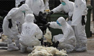 Riset Virus Unggas (Ilustrasi Bioterorism)